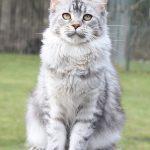 GigantCat Octavia